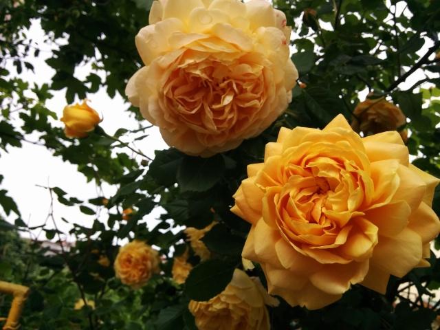 чаени рози 7